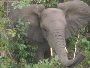 olifant dichtbij